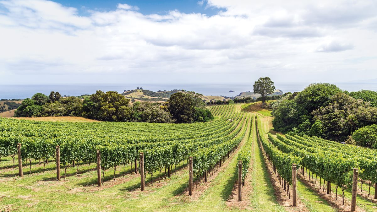 Vineyards on New Zealand's Waiheke Island.